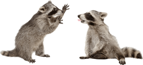 Download Raccoons Png Transparent Background Raccoon Png Free Png Images Toppng