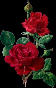 Download Rosas Rojas Flores Vintage Sublimados Acuarela