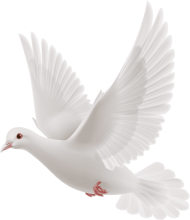 white dove flying PNG images transparent