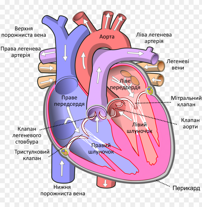 free PNG 1,024 pixels - human heart PNG image with transparent background PNG images transparent