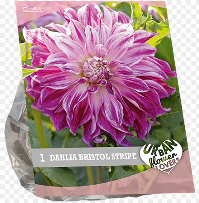 free PNG 7210 dahlia bristol stripe per 1 urban flowers - chrysanths PNG image with transparent background PNG images transparent