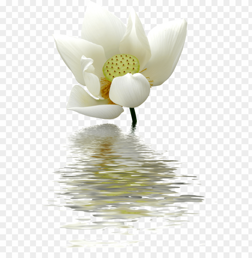 free PNG a lotus flower transparent on the water - lotus flowers white PNG image with transparent background PNG images transparent