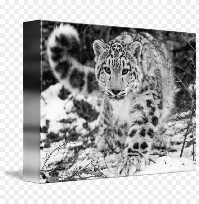 free PNG a snow in the - snow leopard in the winter snow mugs PNG image with transparent background PNG images transparent