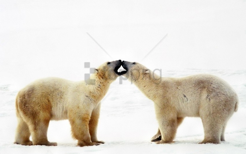 free PNG affection, bear, caring, couple, family, polar bear wallpaper background best stock photos PNG images transparent