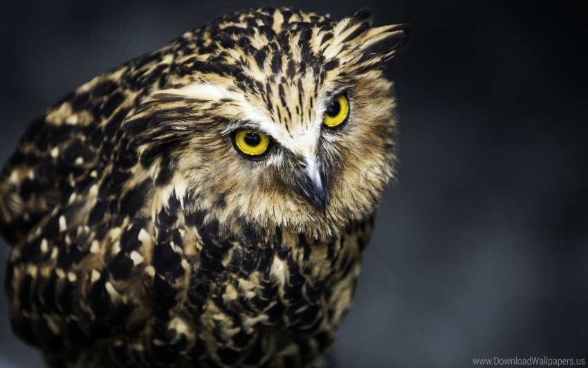 free PNG aggression, bird, feathers, owl, predator wallpaper background best stock photos PNG images transparent