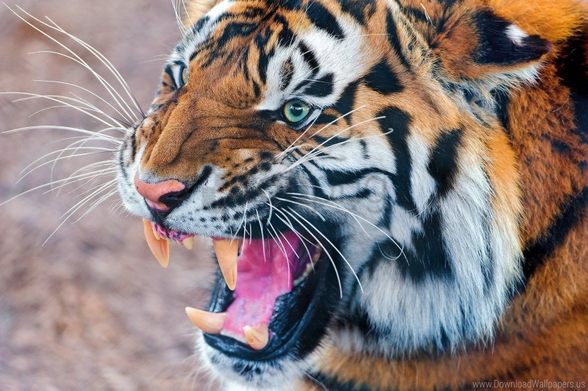 free PNG aggression, face, predator, tiger wallpaper background best stock photos PNG images transparent