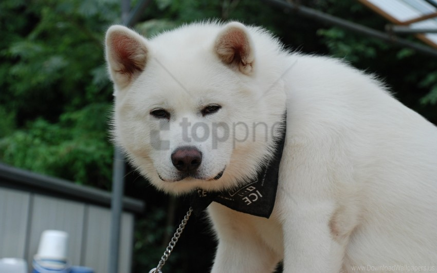 free PNG akita inu, bandana, dog, fluffy, puppy wallpaper background best stock photos PNG images transparent
