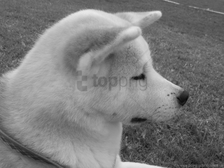 free PNG akita inu, black white, dog, face, pro wallpaper background best stock photos PNG images transparent