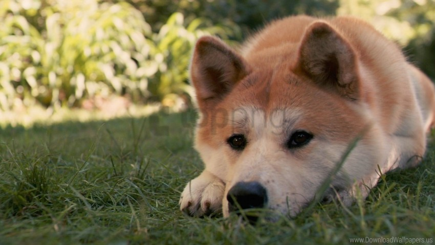free PNG akita inu, dog, down, grass, hachiko, sad wallpaper background best stock photos PNG images transparent