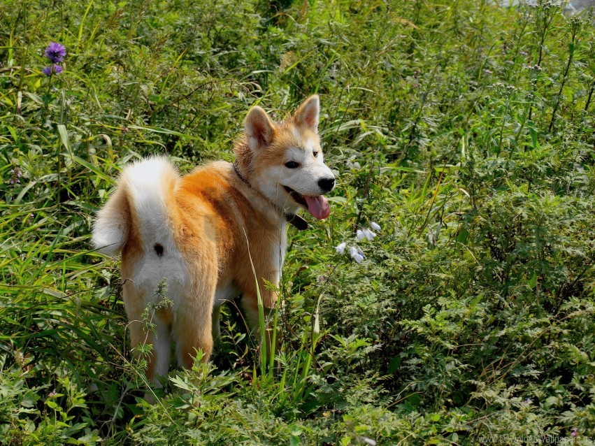 free PNG akita inu, dog, grass, walk wallpaper background best stock photos PNG images transparent