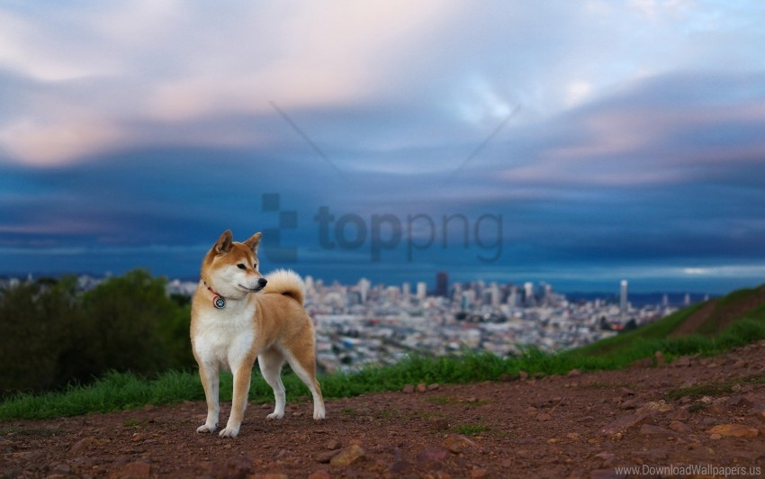 free PNG akita inu, dog, hill, nature wallpaper background best stock photos PNG images transparent