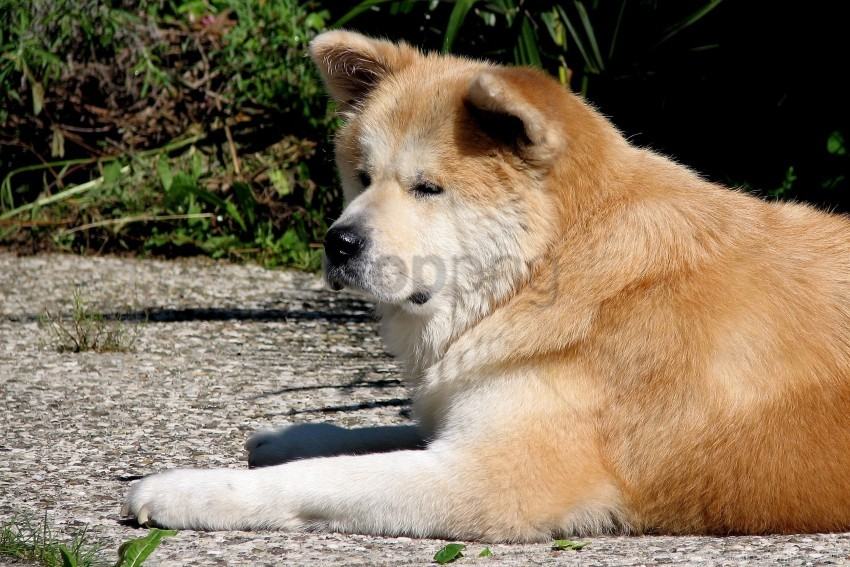 free PNG akita inu, dog, lie down, tired wallpaper background best stock photos PNG images transparent