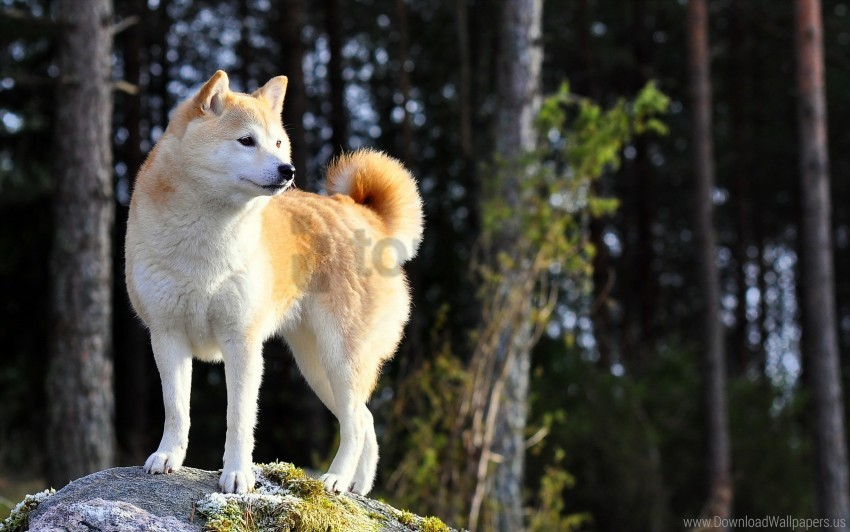 free PNG akita inu, dog, nature, stand wallpaper background best stock photos PNG images transparent
