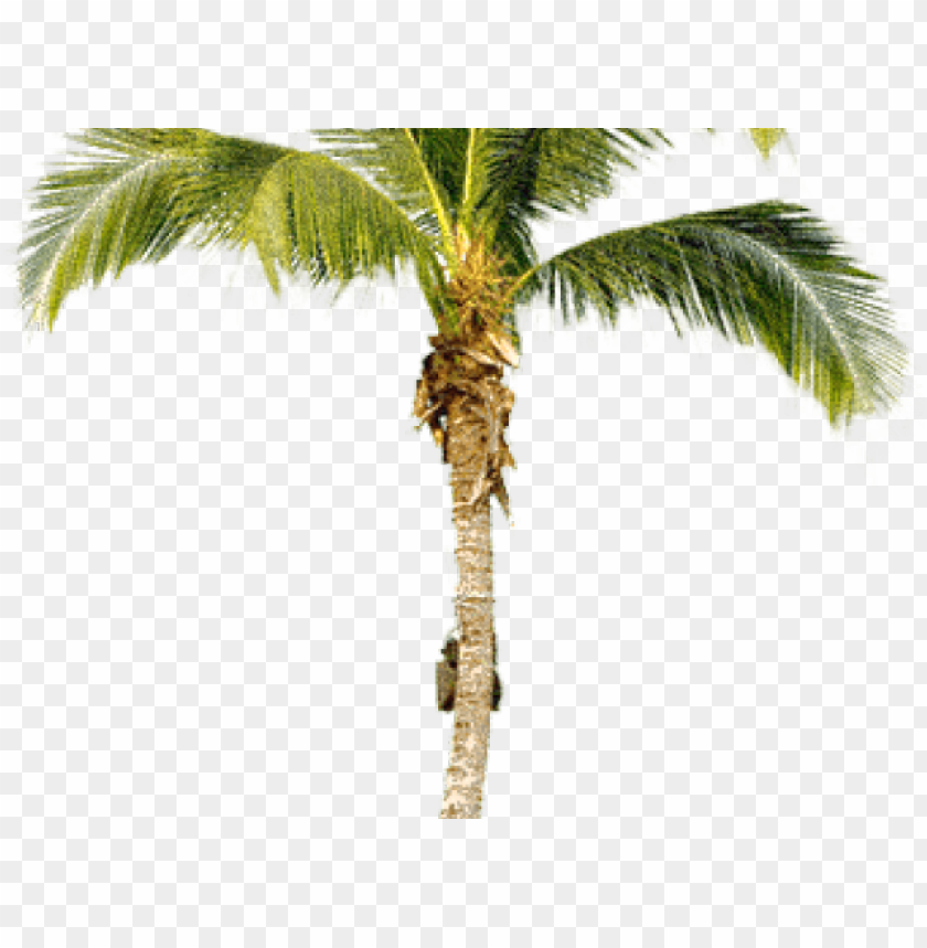 free PNG alm tree png transparent images - real palm tree PNG image with transparent background PNG images transparent