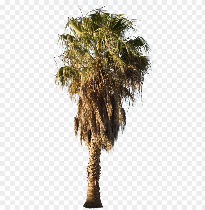 free PNG alm tree png, washingtonia palm, palm trees, mexican - desert palm tree PNG image with transparent background PNG images transparent