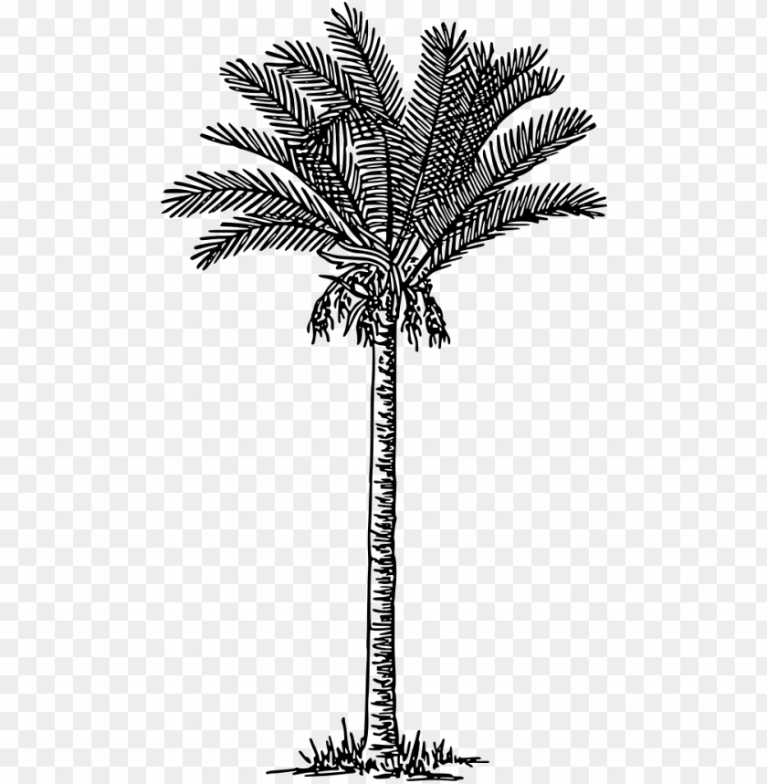 free PNG alm trees date palm plants drawing - date palm drawi PNG image with transparent background PNG images transparent