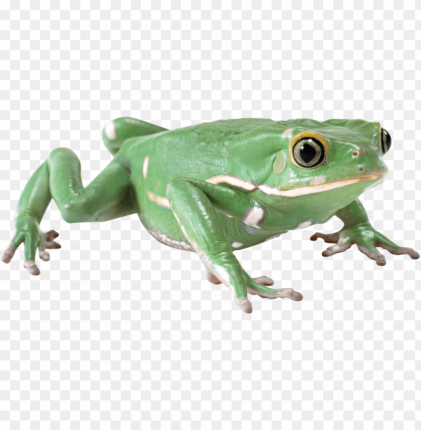 free PNG Download almost flat frog png images background PNG images transparent