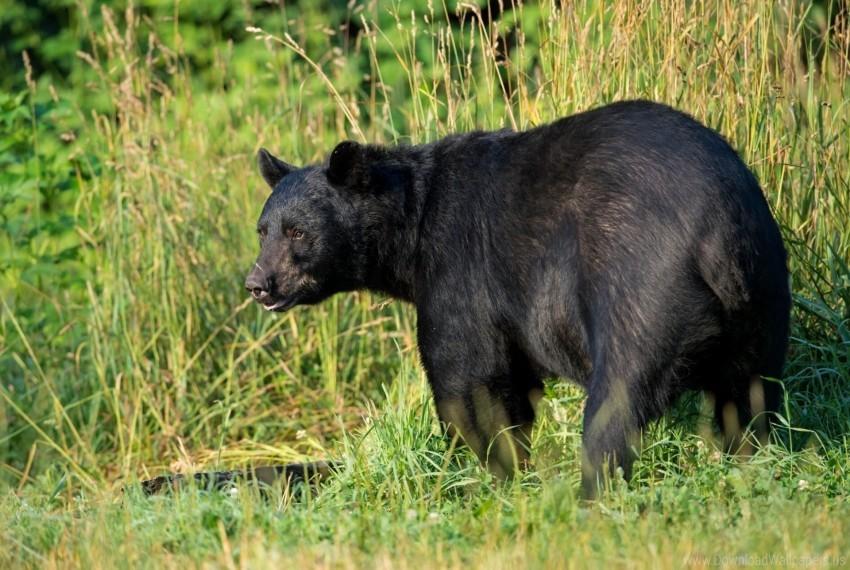free PNG american black bear, bear, grass, predator wallpaper background best stock photos PNG images transparent