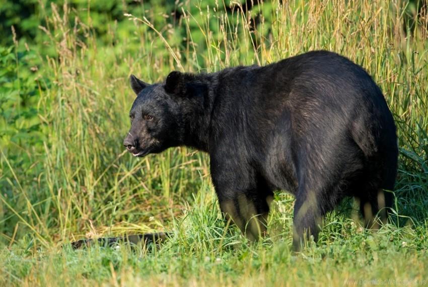 free PNG american black bear, bear, predator wallpaper background best stock photos PNG images transparent