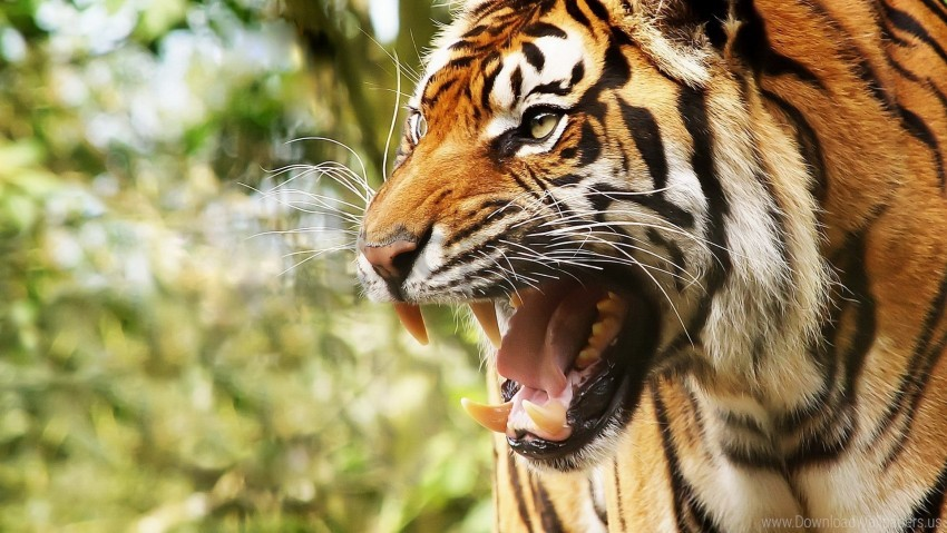 free PNG anger, big cat, face, teeth, tiger wallpaper background best stock photos PNG images transparent