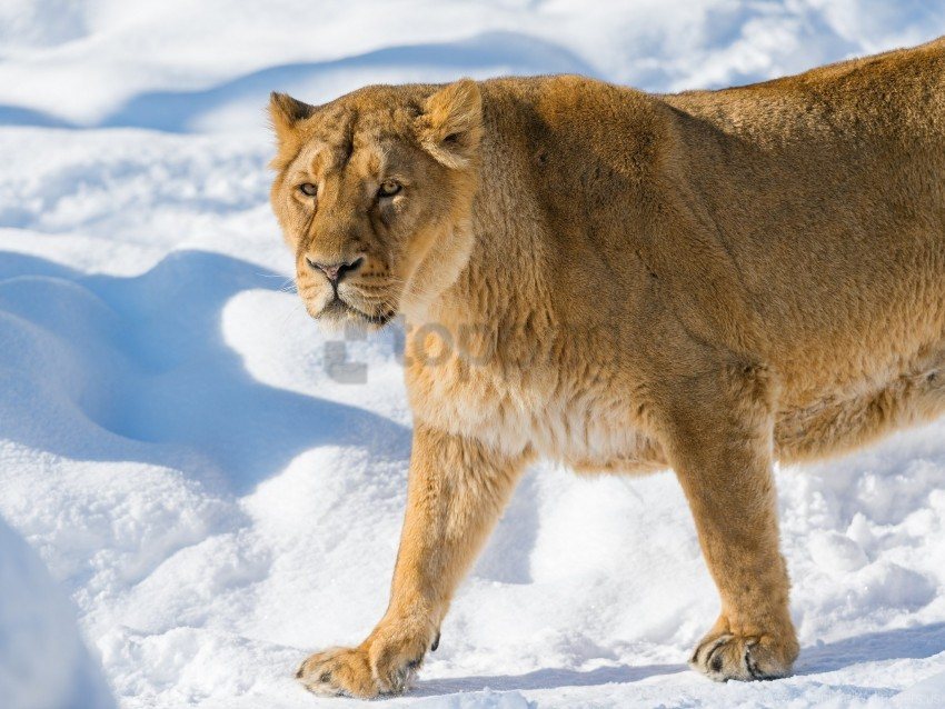 anger, lion, lioness, snout, snow wallpaper background best stock photos@toppng.com