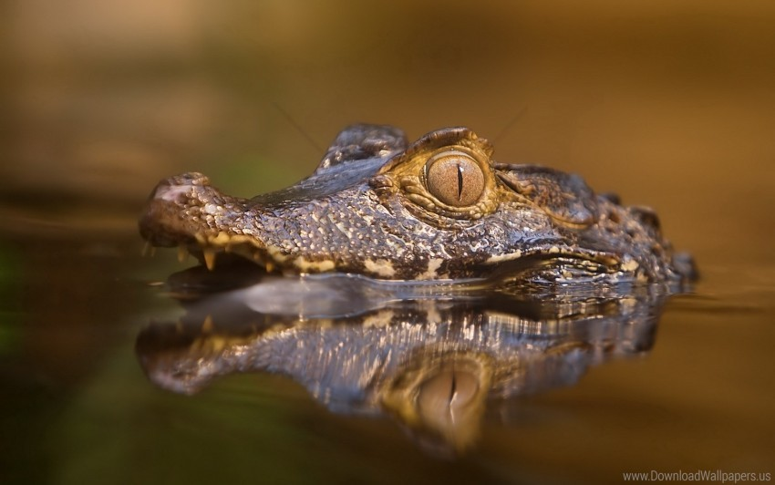 free PNG angry, crocodile, eyes, face, predatory, water wallpaper background best stock photos PNG images transparent