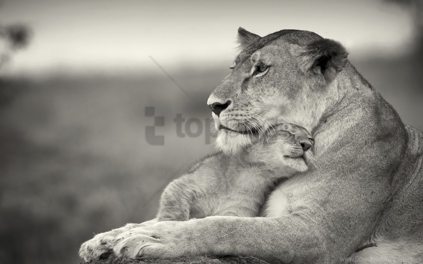 free PNG animal, family, lion, lioness, white wallpaper background best stock photos PNG images transparent