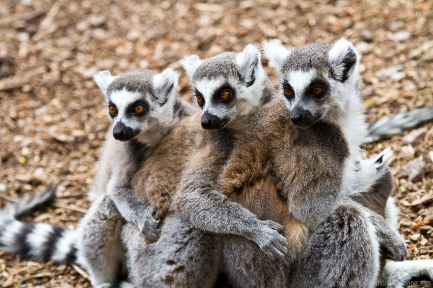 free PNG animals, lemurs, three wallpaper background best stock photos PNG images transparent