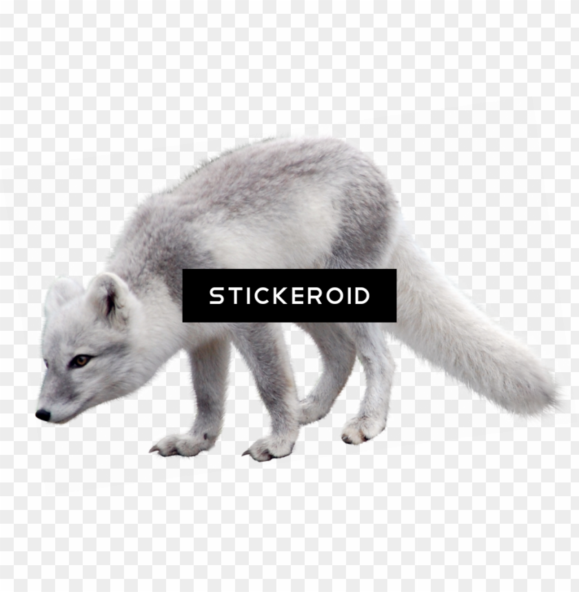 free PNG arctic fox PNG image with transparent background PNG images transparent