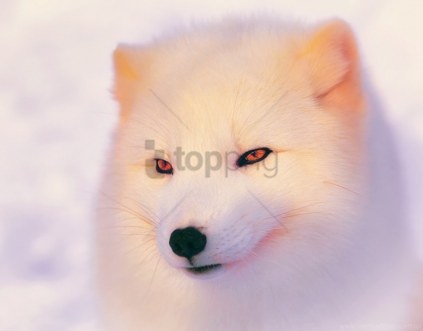 free PNG arctic fox, eyes, face, polar fox wallpaper background best stock photos PNG images transparent