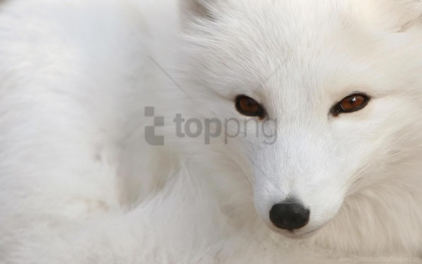 free PNG arctic fox, eyes, face, white wallpaper background best stock photos PNG images transparent