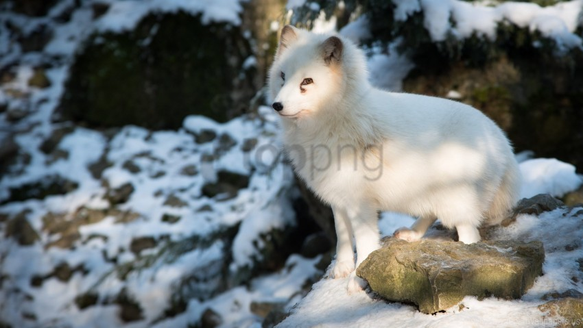 free PNG arctic fox, fox, polar fox, white wallpaper background best stock photos PNG images transparent
