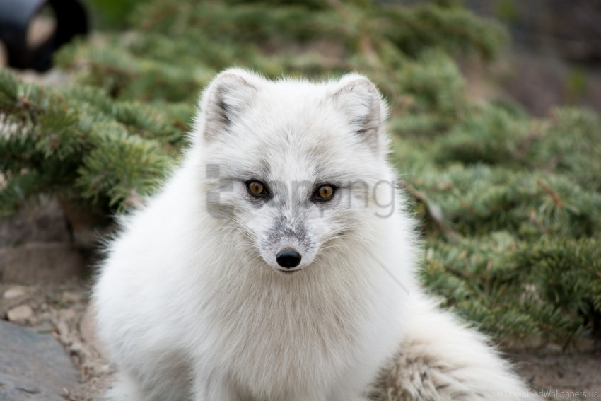 free PNG arctic fox, fur, muzzle, polar fox, predator, white wallpaper background best stock photos PNG images transparent