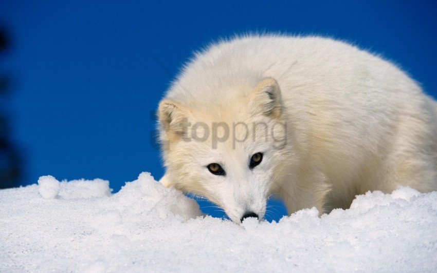 free PNG arctic fox, hunting, muzzle, snow wallpaper background best stock photos PNG images transparent