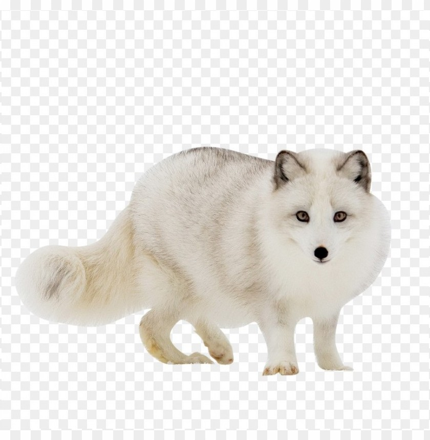 free PNG Download arctic fox red fox gra clipart png photo   PNG images transparent