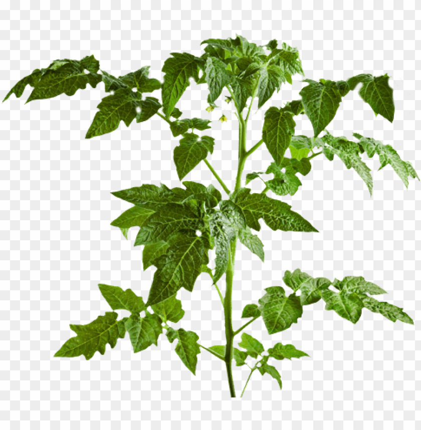 free PNG art of tomato plants leaf PNG image with transparent background PNG images transparent
