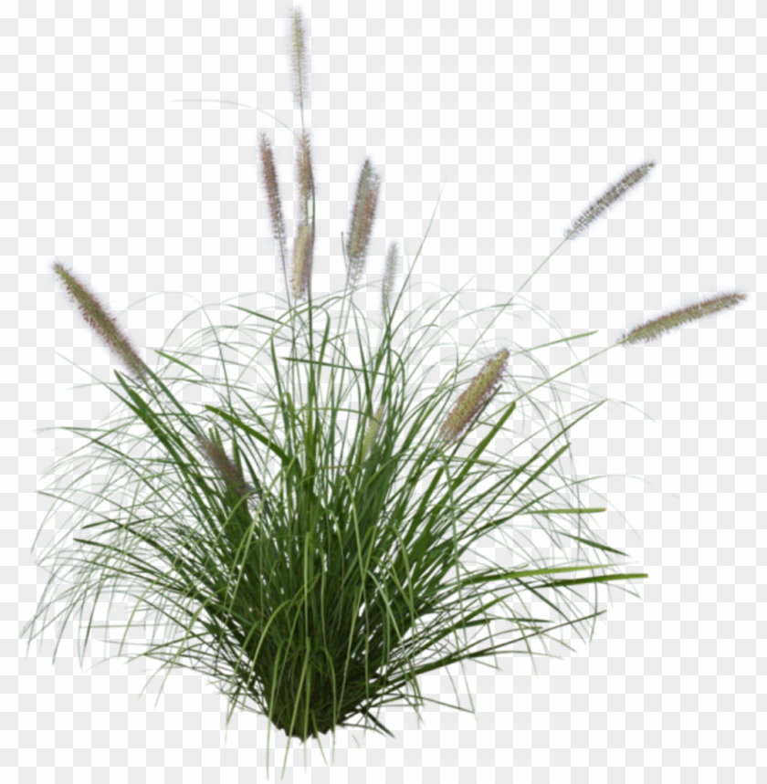 free PNG art seaoats grass beachgrass stickers - purple fountain grass PNG image with transparent background PNG images transparent