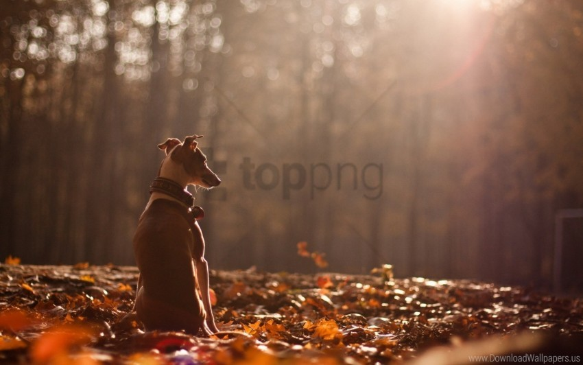 free PNG autumn, dog, forest, leaves, nature wallpaper background best stock photos PNG images transparent