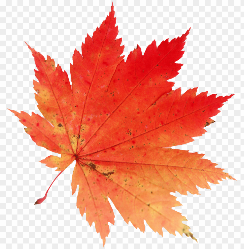 free PNG autumn leaves falling clip art royalty free - maple leaf PNG image with transparent background PNG images transparent