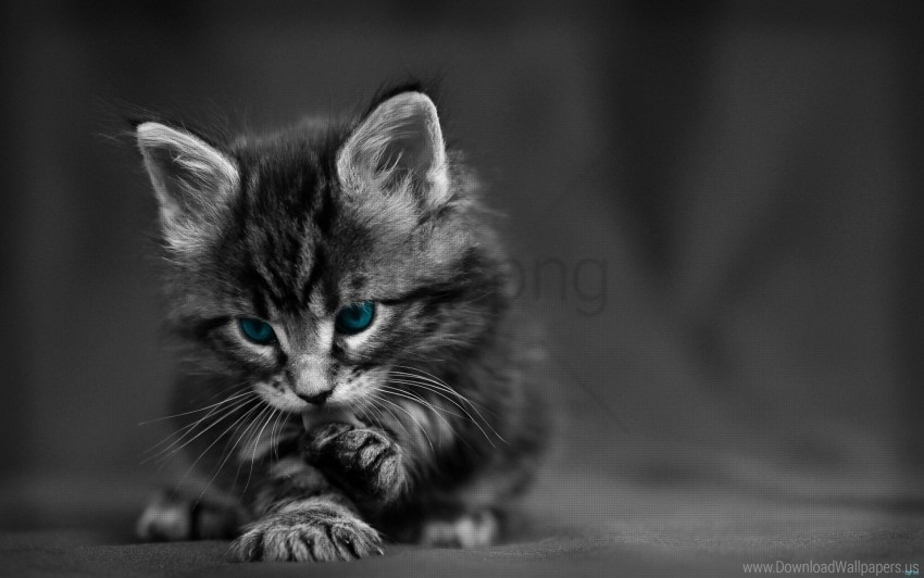 Baby Beautiful Black White Blue Cat Eyes Wallpaper Background Best Stock Photos Toppng