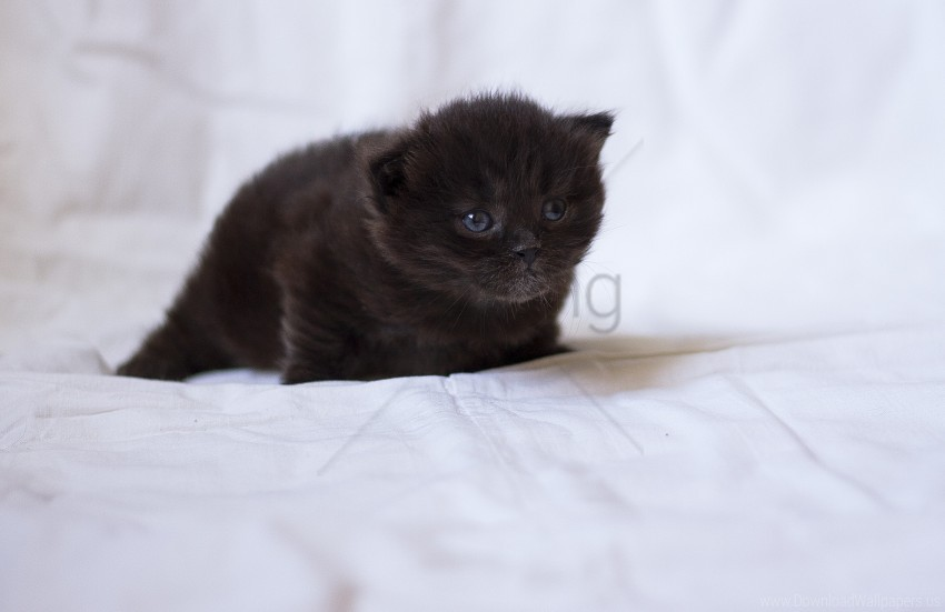 Baby Black Fluffy Kitten Wallpaper Background Best Stock Photos Toppng
