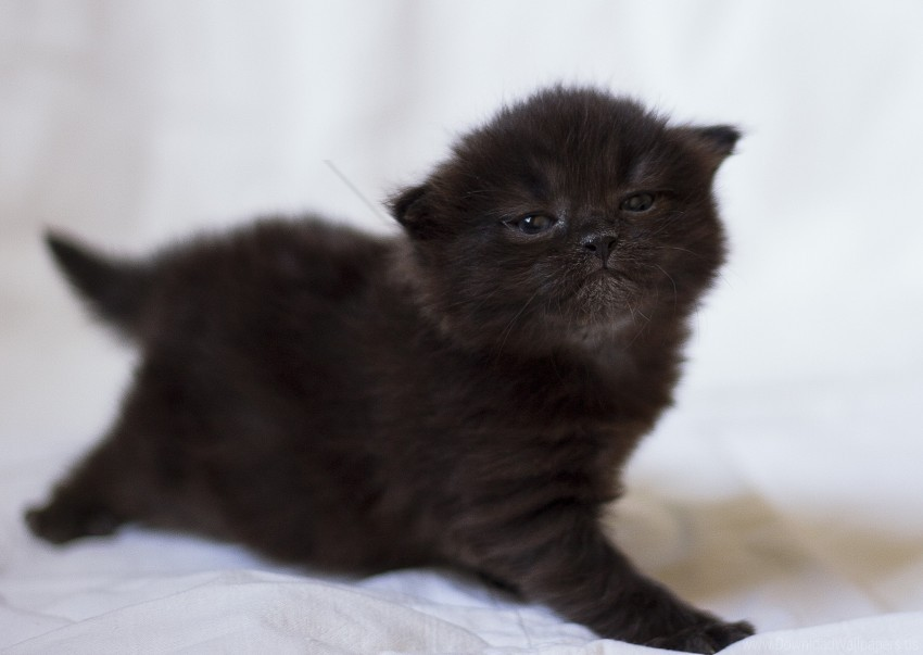 Baby Black Kitten Photo Shoot Wallpaper Background Best Stock Photos Toppng