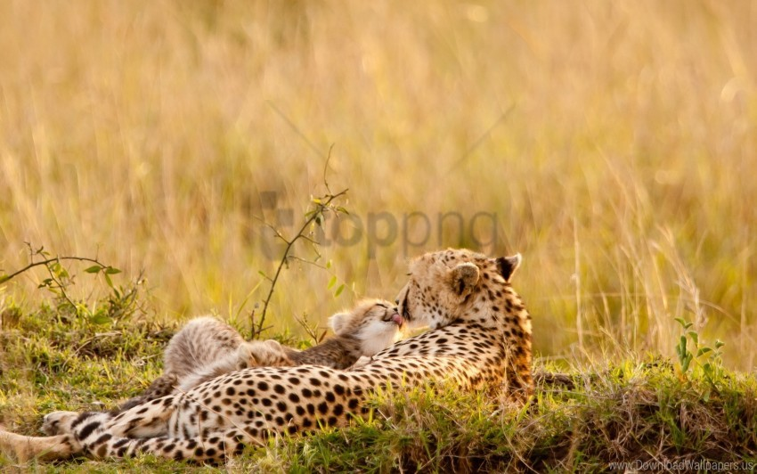 free PNG baby, care, couple, down, grass, leopards wallpaper background best stock photos PNG images transparent