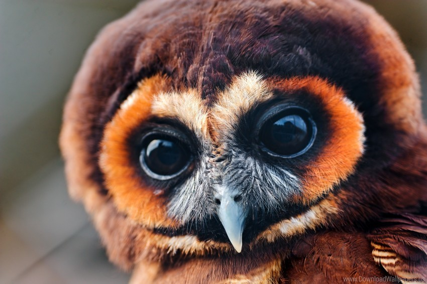 free PNG baby, eyes, feathers, muzzle, owl wallpaper background best stock photos PNG images transparent