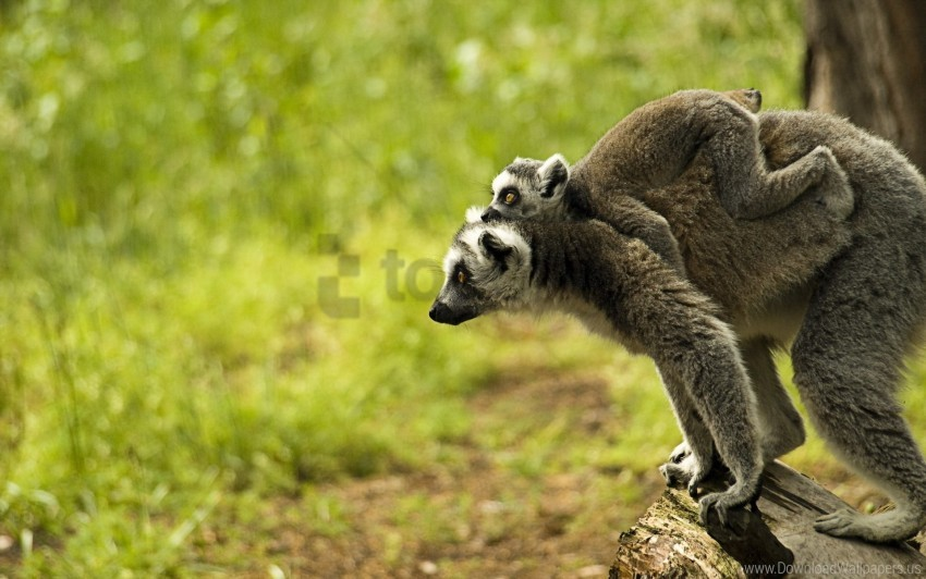 free PNG baby, family, lemur wallpaper background best stock photos PNG images transparent
