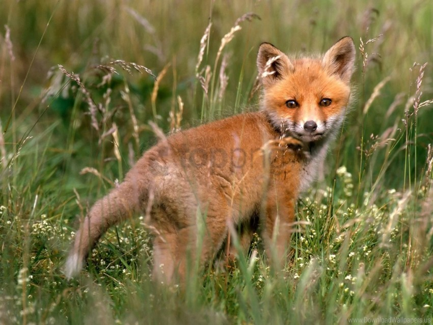 free PNG baby, fox, grass, walk, young fox wallpaper background best stock photos PNG images transparent