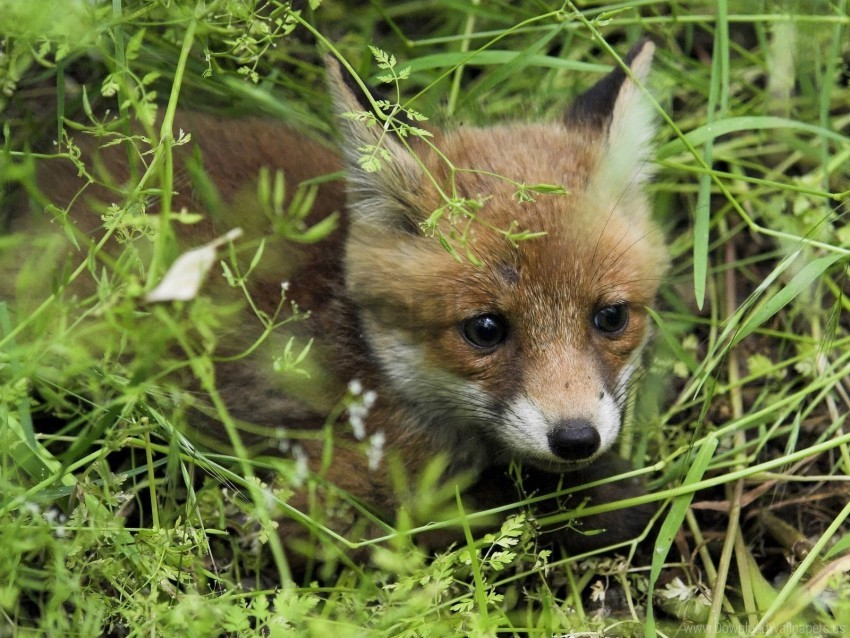 free PNG baby, fox, grass, young fox wallpaper background best stock photos PNG images transparent