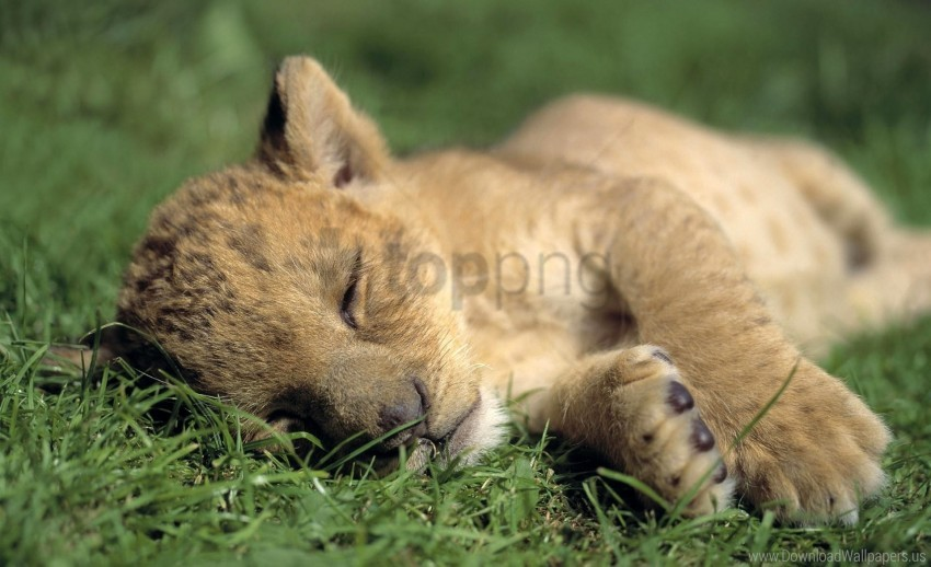 free PNG baby, grass, lion, predator, sleep wallpaper background best stock photos PNG images transparent