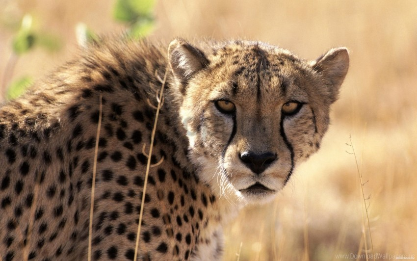 free PNG background, big cat, cheetah, grass, muzzle, waiting wallpaper background best stock photos PNG images transparent