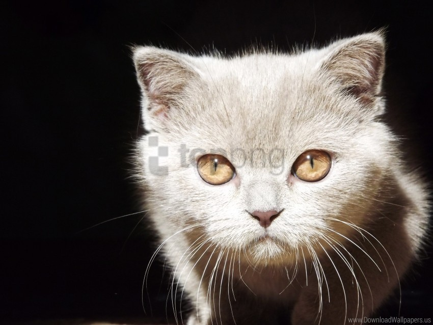 background, eyes, face, kitten wallpaper background best stock photos@toppng.com